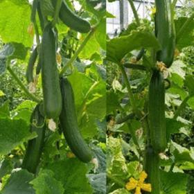 Cucumber Deluks