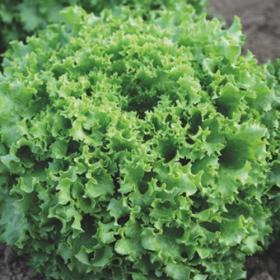 Lettuce Davidole