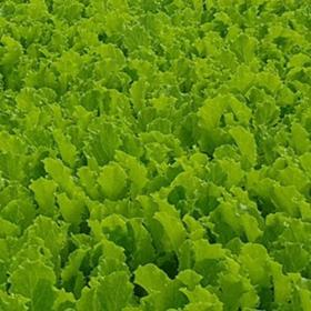 Lettuce babyleaf Icevita