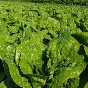 Lettuce Musena