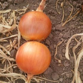 Onion Khroma