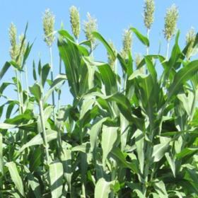 Sudan grass Nicol