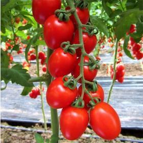 Tomato Proxy F1