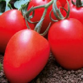 Tomato Saladyn F1