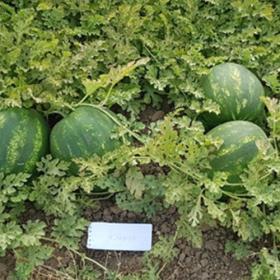 Watermelon Candice