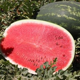 Watermelon Barelo (WMH6883)