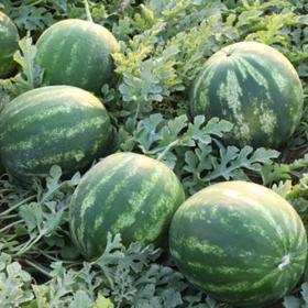 Watermelon Roman (6715)